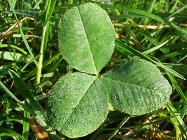 3-leaf-clover